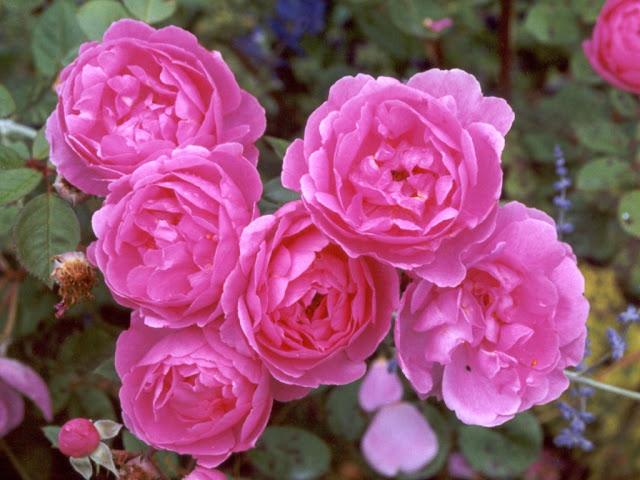 аккорды роза слушать